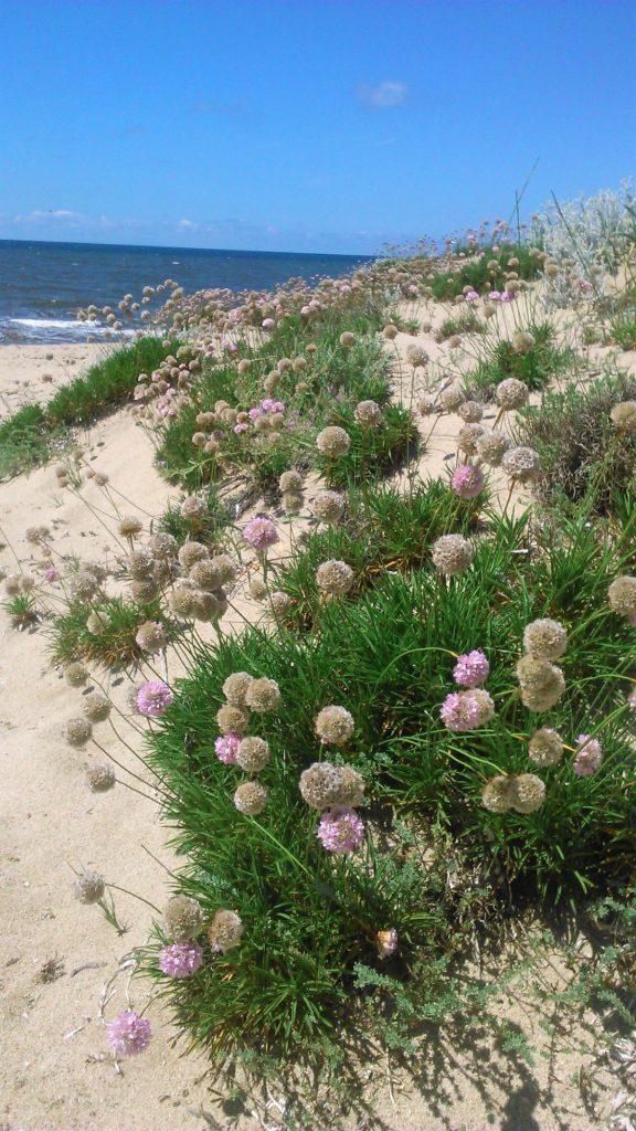 Na písečných dunách u hotelu Baia delle Mimose je plno krásných květin