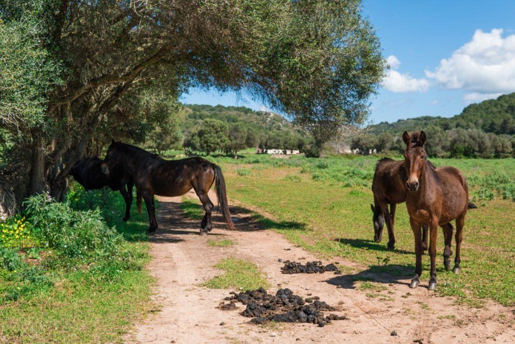 Menorca je domovem menorských koní. Ty však volně v přírodě nenajdete.