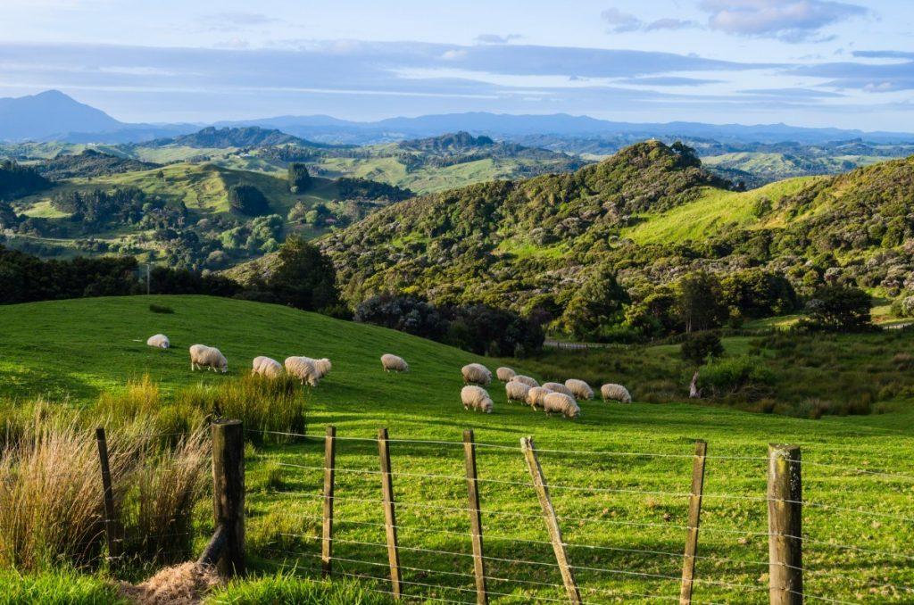 Nekonečné zelené pastviny k Novému Zélandu neodmyslitelně patří.