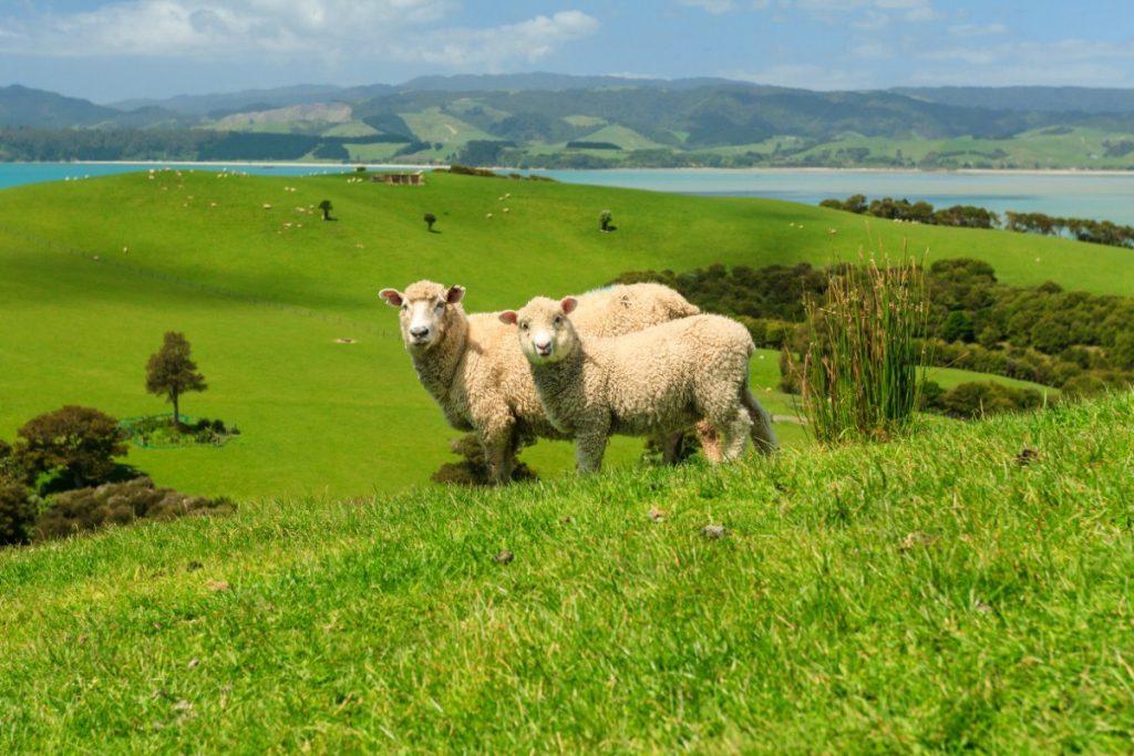 Novozélandské ovce jsou zdrojem vlny, která se vyváží do celého světa.