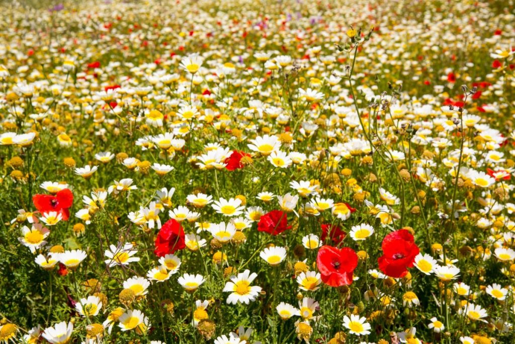 Rozkvetlé jaro na Menroce voní heřmánkem.