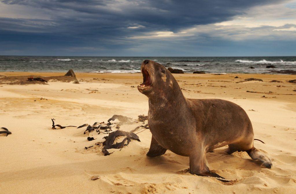 Na novozélandských plážích se můžete potkat také s divokými lachtany.