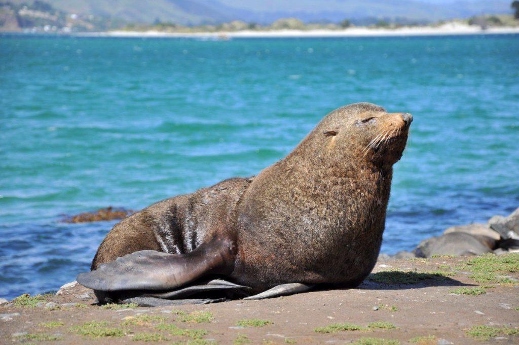 Majestátní tuleň odpočívá na pláži poloostrova Otago.