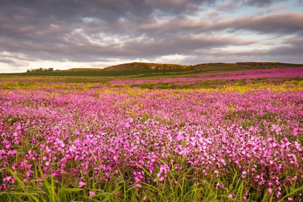 Rozkvetlá krajina na pobřeží Northumberland .