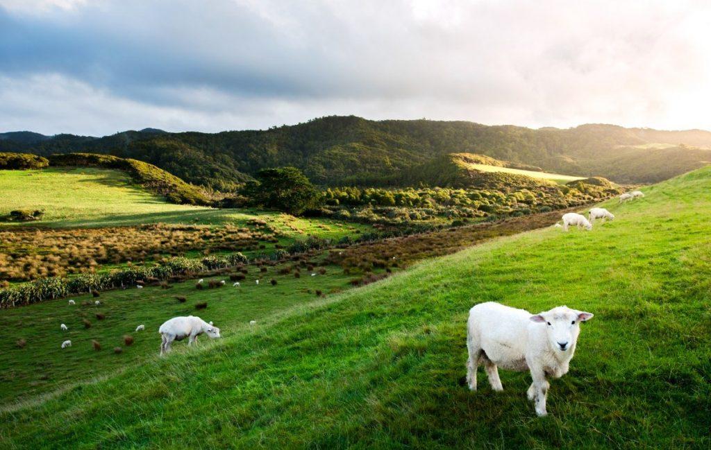 Ovce na pastvinách ke krajině Zélandu zkrátka patří.