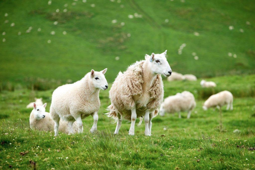 Anglickému venkovu dominují zelené pastviny plné ovcí.