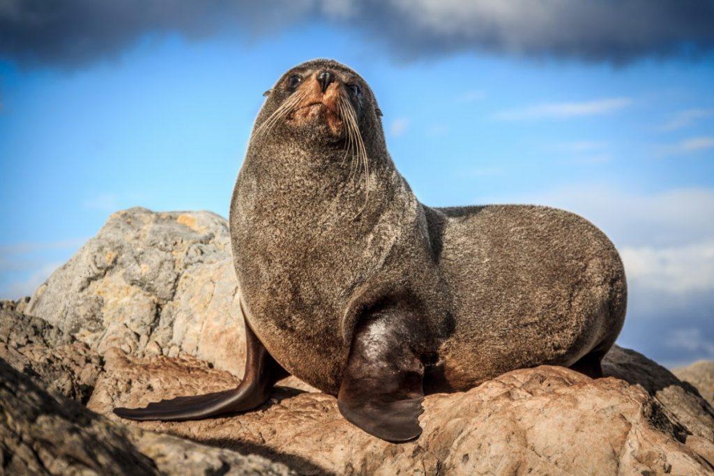 Při pozorování tuleňů si na Zélandu přijdou na své všichni milovníci divoké fauny.