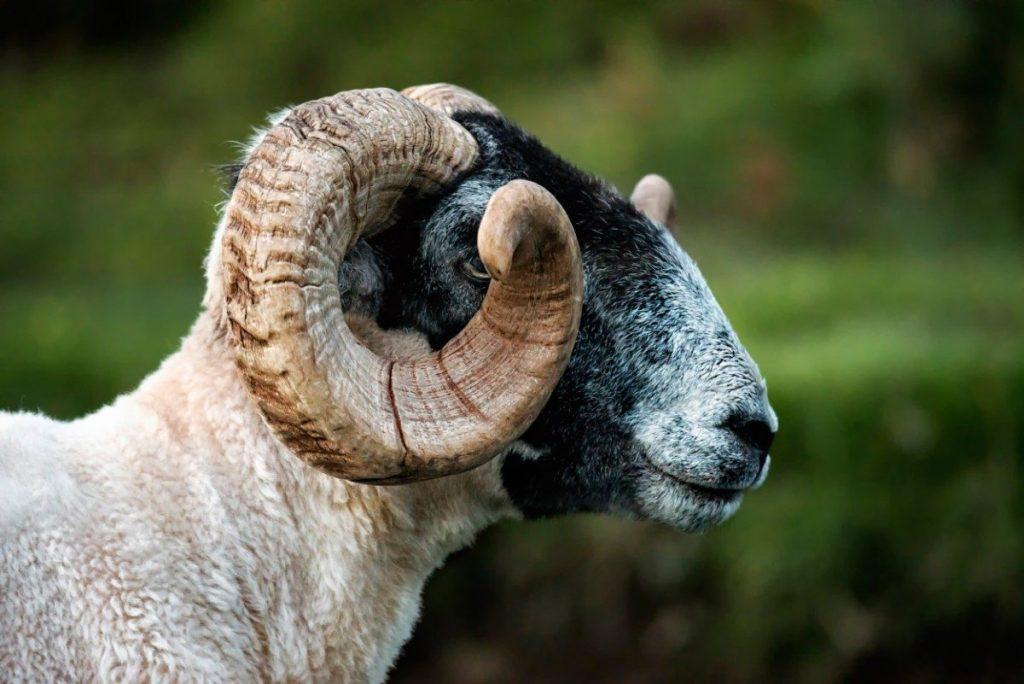 Ovce potkáte ve skotské krajině téměř všude.