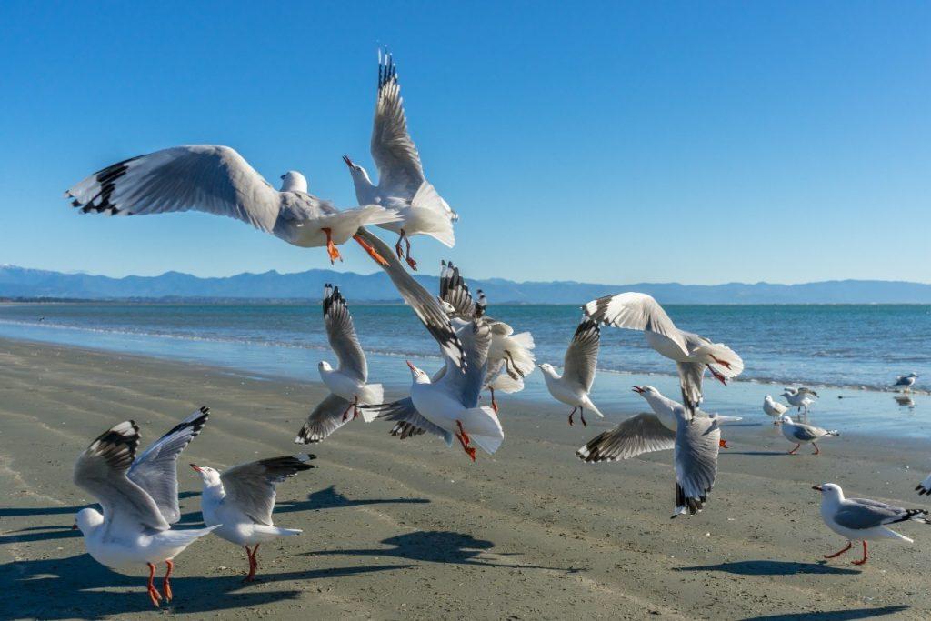 Hejno racků na pláži u města Nelson.