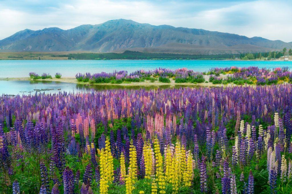 Jezero Tekapo je obklopeno horami a kvetoucími lupinami.