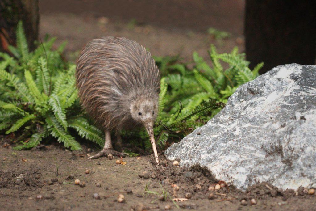 Ohrožený kivi je jedním ze symbolů Nového Zélandu.