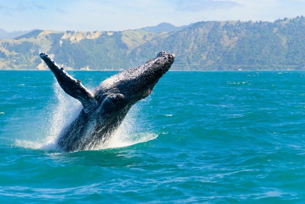 Majestátní velryby se nejlépe pozorují v okolí města Kaikora.